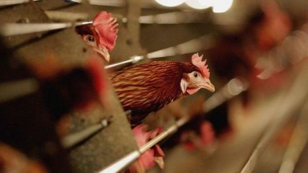 ثبت اولین مورد انسانی ابتلا به نوع نادر آنفلوآنزای پرندگان در چین